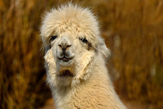 alpaca-2214504_640